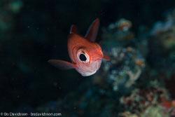 BD-130713-Maldives-0350-Myripristis-vittata.-Valenciennes.-1831-[Whitetip-soldierfish].jpg